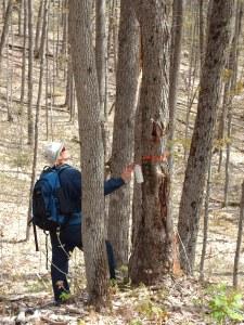 Treemarking, central Ontario